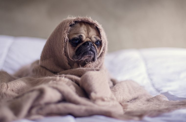 sad looking pug wrapped in a blanky